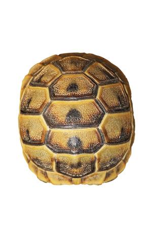 greek turtoise shell on white background ( Testudo graeca ) 版權商用圖片