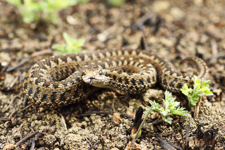 rarest european snake, the meadow viper ( Vipera ursinii rakosiensis, full length reptile in natural habitat )