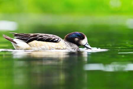 beautiful wild duck on pond, green reflections on water