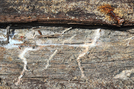 detail of dry rot mycelium on old wooden beam that stayed in contact with soil