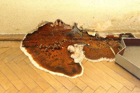 fruiting body of dry rot growing on parquet ( Serpula lacrymans )