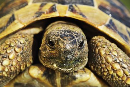 portrait of shy greek turtoise, wild animal ( Testudo graeca ) Reklamní fotografie