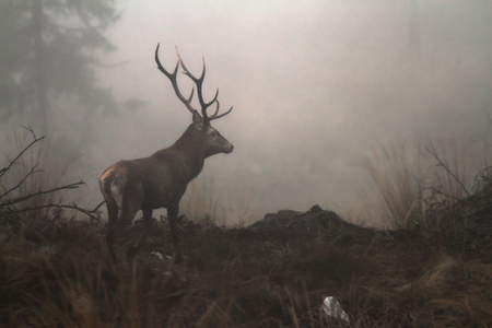 red deer stag in the wilderness of Carpathian mountains ( Cervus elaphus ); the animals are very shy and hard to photograph
