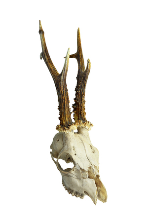 roe deer buck skull isolated on whitebackground ( Capreolus capreolus ) Foto de archivo