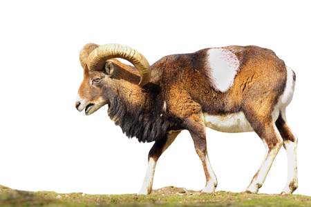 full length moufflon isolated over white background ( Ovis orientalis, big ram ) Reklamní fotografie