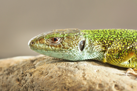 detailed image of Lacerta viridis, the common green lizard
