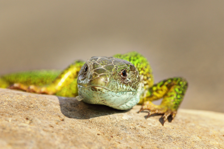 front view of a wild green lizard ( Lacerta viridis )