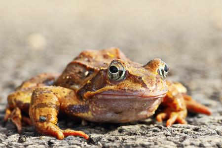 full length agile frog ( Rama dalmatina, front view on wild animal )