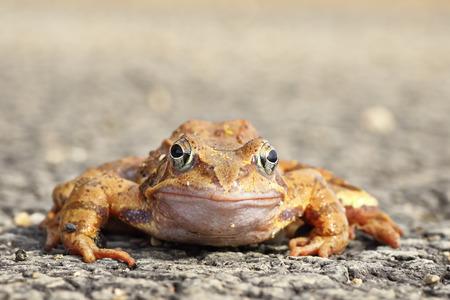 agiler Frosch in voller Länge in die Kamera schaut (Rana Dalmatina)