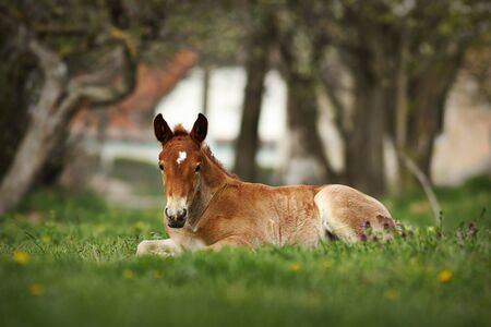 brown foal standing on meadow near the farm