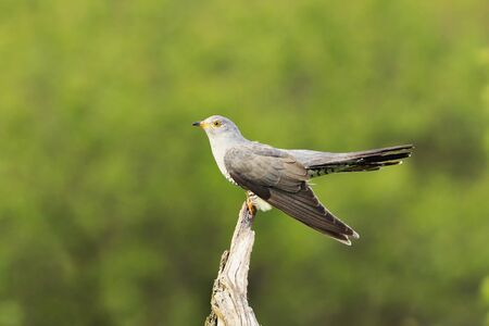 common cuckoo standing on wooden stump ( Cuculus canorus )