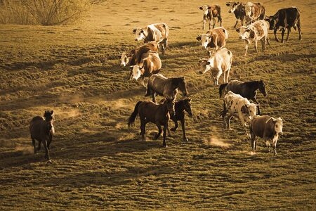 domestic animals on meadow, horses and cows running