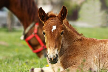 portrait of cute brown foal looking at the camera 写真素材 - 128904263