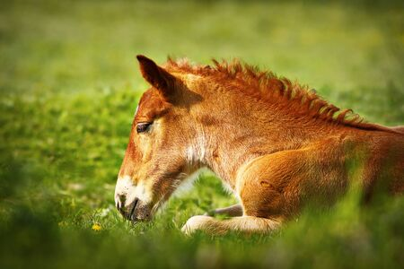 young brown horse closeup, domestic animal standing on green meadow