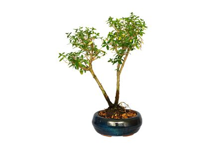 young japanese boxthorn bonsai isolated over white background ( Serissa japonica )