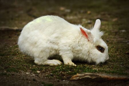 young white rabbit foraging for food in the farm yard 스톡 콘텐츠