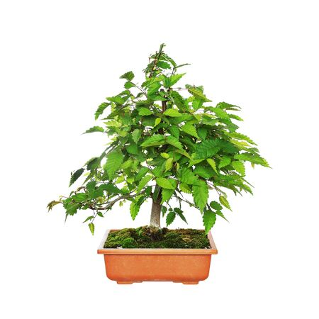 Zelkova serrata or japanese grey bark elm, bonsai isolated over white background Stockfoto