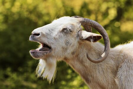 portrait of aggressive white billy goat