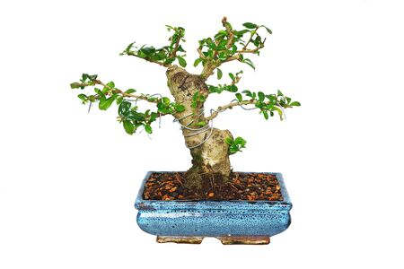 Carmona retusa bonsai in training, isolation over white background for your design ( fukien tea tree or Ehretia microphylla )
