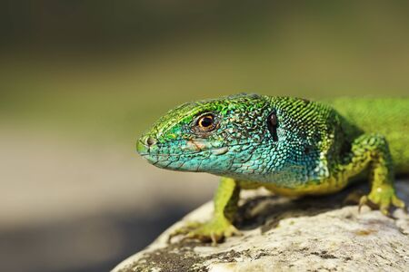 closeup of blue colored male green lizard ( Lacerta viridis )