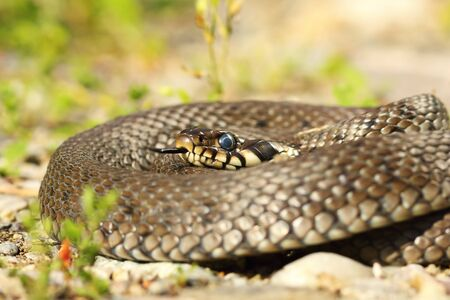 closeup of grass snake basking in natural habitat ( Natrix natrix ) 스톡 콘텐츠