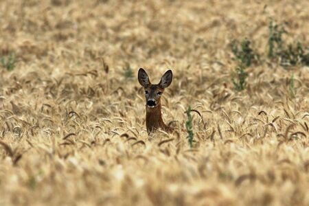 curious roe deer doe in wheat field ( Capreolus capreolus female )