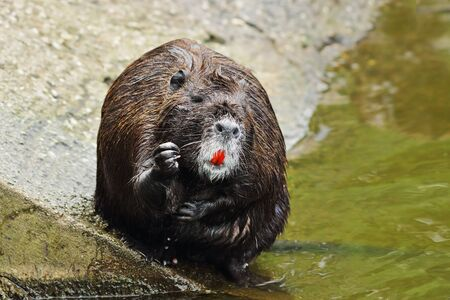 cute coypu cleaning fur in a zoological park ( Myocastor coypus ) 스톡 콘텐츠