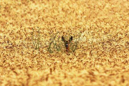 cute roe deer doe hiding in wheat field ( Capreolus capreolus )