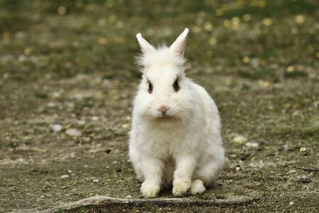 cute white domestic rabbit in the farm yard