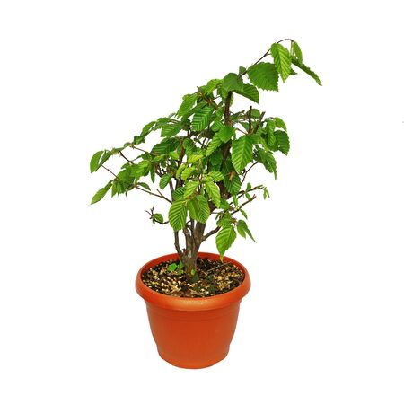 european common hornbeam isolated over white background, young bonsai in training ( Carpinus betulus )