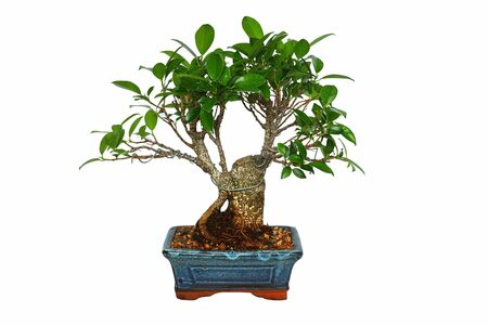 ficus tiger bark bonsai isolated over white background ( Ficus retusa )