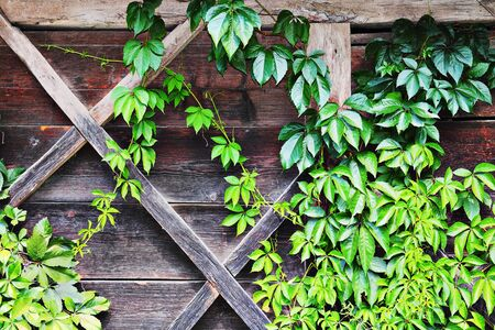 green ivy growing over the wall of old traditional wooden lodge, beautiful natural background 스톡 콘텐츠