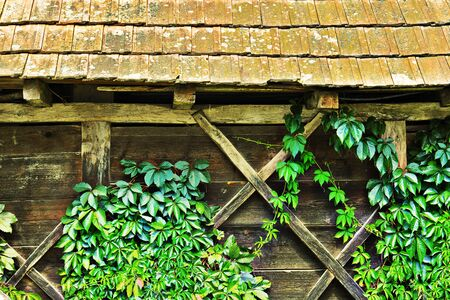 green ivy grown on the walls of old wooden house 스톡 콘텐츠