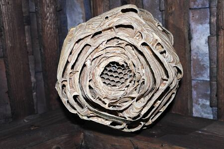 huge wasp nest into the attic of old house ( Vespa crabro )