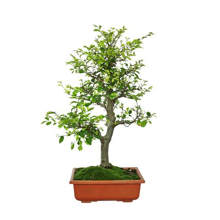 japanese elm bonsai isolated over white background ( Ulmus parvifolia )