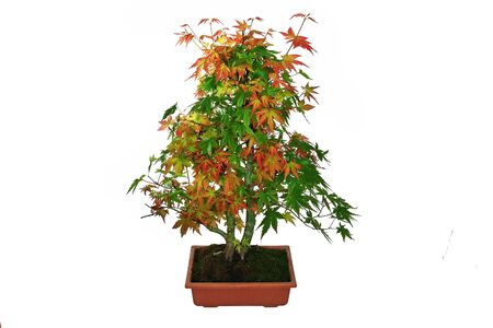 japanese maple bonsai ( Acer palmatum ) isolaed on white background
