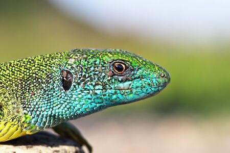 large colorful male Lacerta viridis, the common european green lizard in mating season, portrait 스톡 콘텐츠
