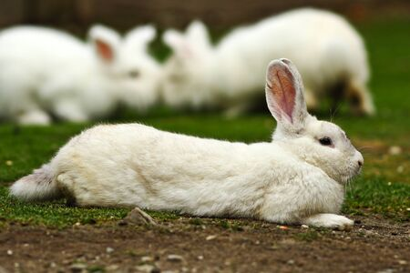lazy white domestic rabbit standing in the farm yard 스톡 콘텐츠