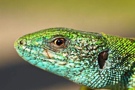 macro portrait of blue male lacerta viridis in mating season ( european green lizard )