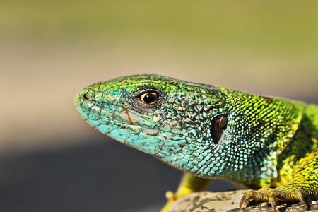 macro portrait of colorful male Lacerta viridis, the common european green lizard