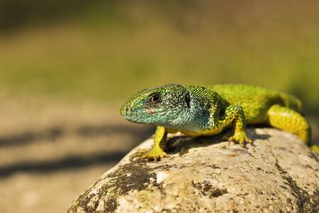 male green lizard closeup ( Lacrta viridis ); animal in wild environment basking on a rock