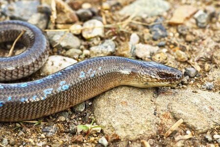 male slowworm in mating season ( Anguis colchica ) 스톡 콘텐츠