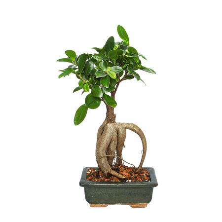 office bonsai ficus ginseng isolated on white background for your design ( Ficus retusa )