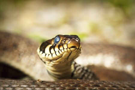 portrait of curious grass snake looking at the camera ( Natrix natrix ) 스톡 콘텐츠