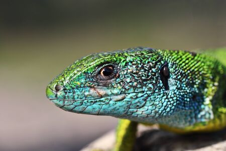 portrait of large male green lizard ( Lacerta viridis ) 스톡 콘텐츠