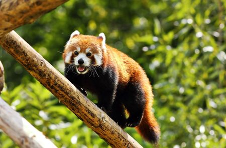 red panda clinbing high ( Ailurus fulgens )
