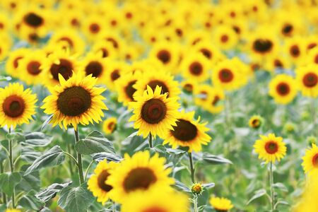 closeup of sunflower field in summer, natural biofarming
