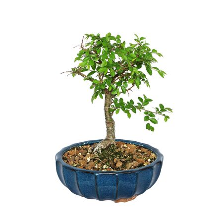 Ulmus parvifolia bonsai isolated on white background