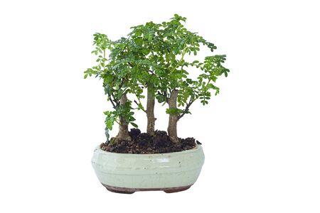 chinese pepper bonsai isolated over white background ( Xanthoxylum piperitum )