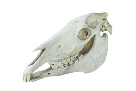 alter Pferdeschädel isoliert auf weißem Hintergrund Standard-Bild